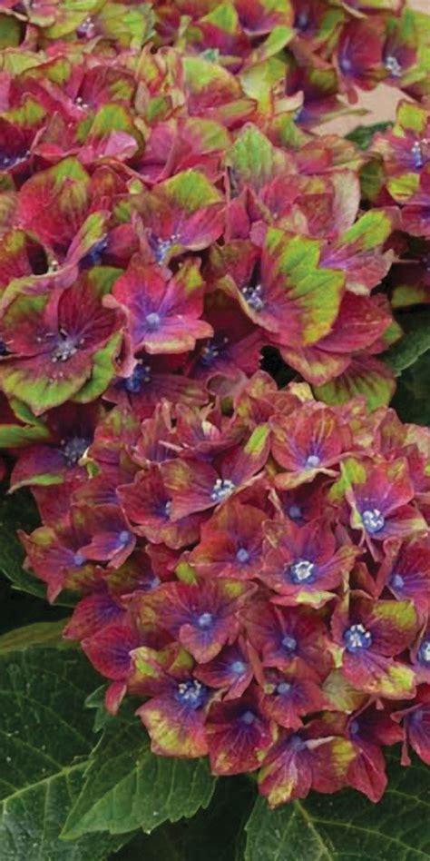 ruby slippers hydrangea deer resistant 1079 best 0 garden wish list zone 6 images on