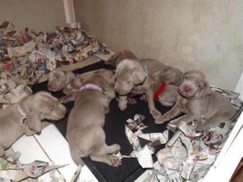weimardoodle puppies weimardoodle weimaraner poodle mix info temperament puppies pictures