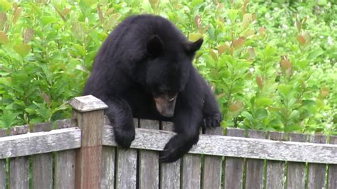 black bear  backyard  issaquah home  squawk mountain