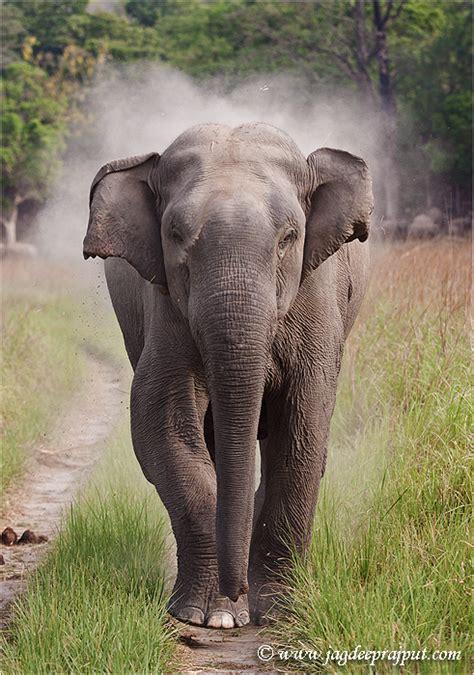 elephant biography in hindi indian elephant animals pinterest indian elephant