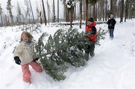 where and how to cut down your own christmas tree in