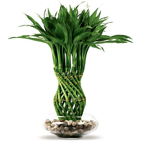 lucky bamboo arrangement pineapple braided lucky bamboo from easternleaf com