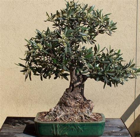vendita vasi per bonsai potare ficus bonsai attrezzi e vasi per bonsai