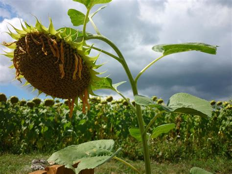 information about black oil sunflower seeds and black seed