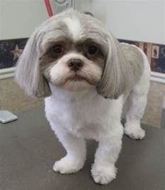 pictures of shih tzu haircuts shih tzu cut style possibilities pawpular stuff