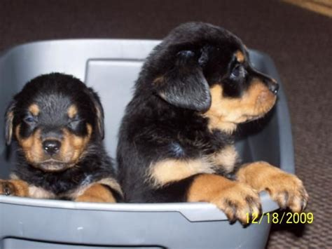 rottweiler puppies for sale in california 25 best ideas about rottweiler puppies for sale on german rottweiler
