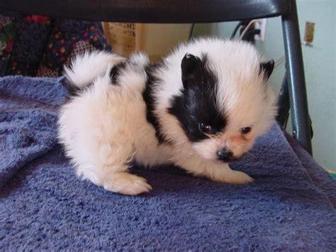 munchkin puppies photograph of munchkin puppy interzonga web ads