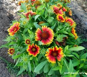 цветы многолетние юкка фото