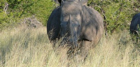 South Africa Records South Africa Records Another Year Of Rising Rhino Killings