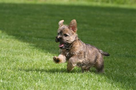 do cairn terriers get their hair cut or shaved cairn terrier dogs breed information omlet