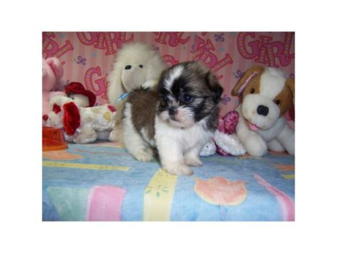houston shih tzu puppies for sale shih tzus shih tzus in houston dogs
