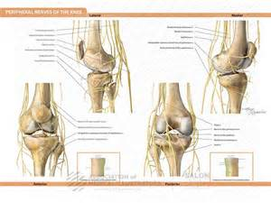 Nerves in the knee anatomy peripheral nerves of the knee ami cleveland