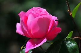 Bunga-Gambar-Mawar-Bunga-Indah-Gambar-hh_Ni326024.jpg