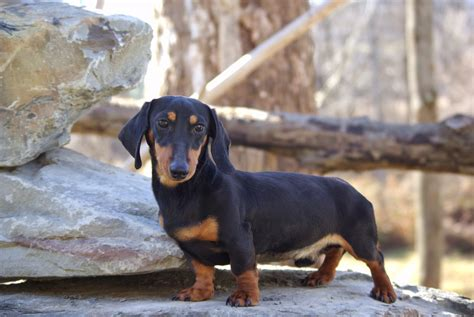 dachshund puppies for sale upstate ny hair sires reevesdachs miniature dachshunds