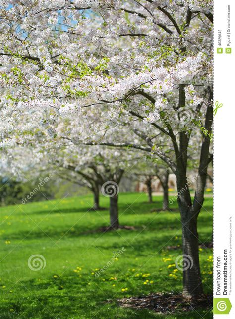 albero fiori bianchi albero con i fiori bianchi della primavera della ciliegia