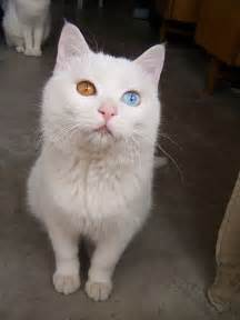 cat with different colored cat with two different color 7 pics