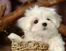 Little White Fluffy Puppy