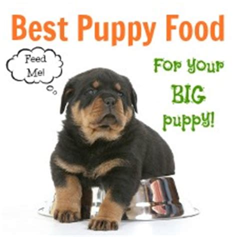 what is the best food for rottweiler puppies diet health care meisterhunde rottweilers high quality german rottweiler