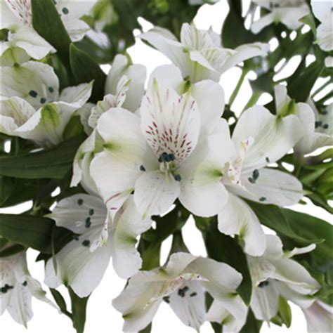 astro flower white alstroemeria fresh flower