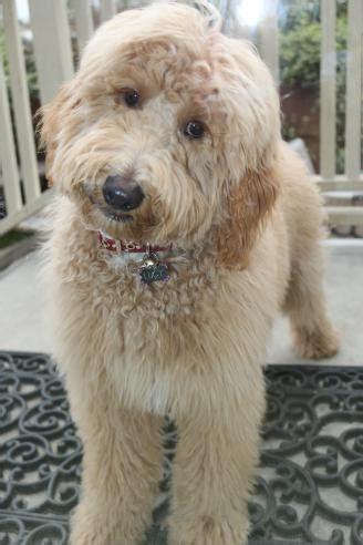 goldendoodle puppy orange county river doodles home raised goldendoodle bernedoodle