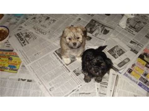 steel city havanese havanese puppies for sale