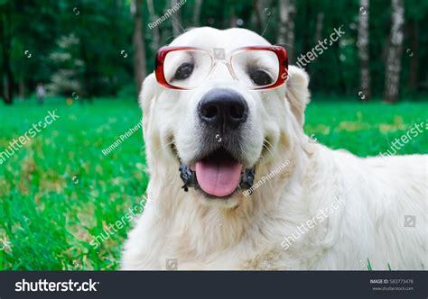 golden retriever with sunglasses golden retriever sunglasses park stock photo 583773478