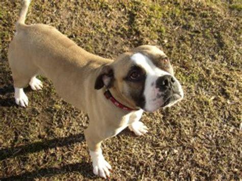 dog world rescue » rudy: american bulldog/boxer mix