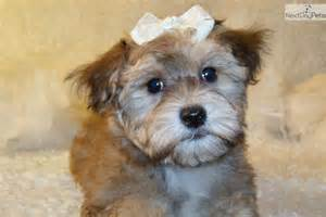 Yorkiepoo yorkie poo puppy for sale near springfield missouri