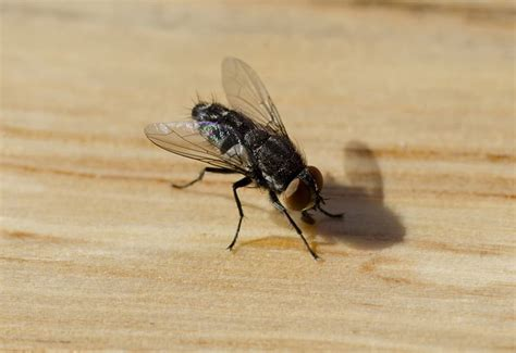 house fly infestation house flies house fly prevention pittsburgh house fly control