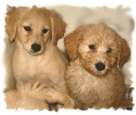 goldendoodle puppy phases goldendoodle coat phases and changes f1b mini