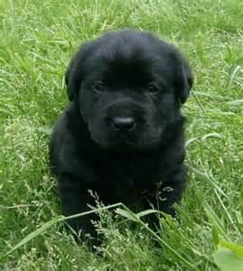 Black lab puppies for sale english black lanradors blocky black