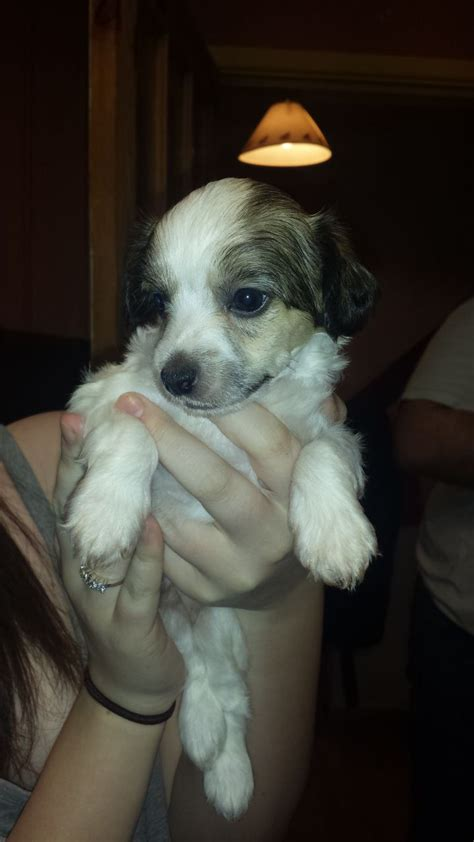crested puppy for sale pin crested for sale image search results on