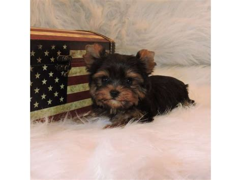 fosters yorkies yorkie teacup and sized animals foster city michigan announcement 32679