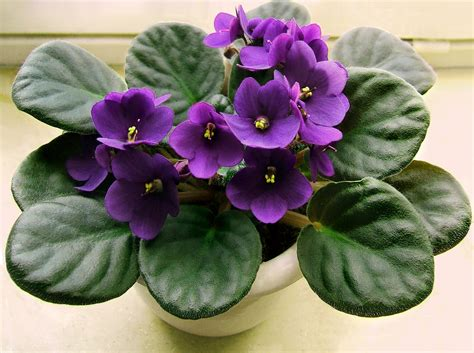 flower african violet three hundred and sixty six