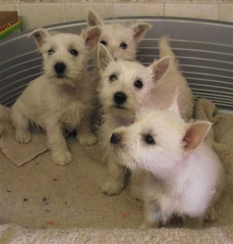 west highland terrier puppies for sale papers