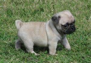 <strong>pug</strong>_dog_puppy.jpg