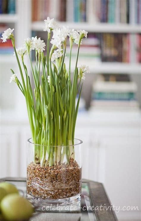 Growing Bulbs In A Vase by How To Grow Paperwhites In Glass Vase Gardens