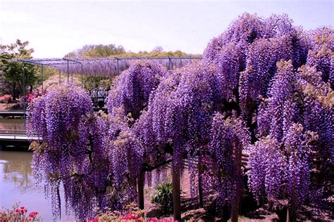 japan flower tunnel wisteria tunnel japan beautiful place