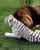 White Tiger and Lion