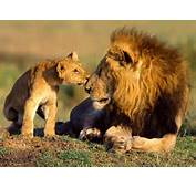 African Animals Wildlife Lions Photography Are Large