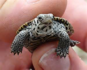 Cutest tiny turtle ever youtube