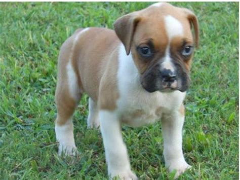bulldog puppies for sale wisconsin puppies for sale in wisconsin petsale inc