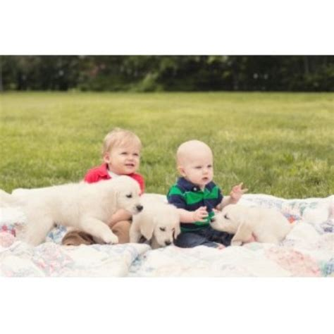 golden retriever breeder indiana majestic manor goldens golden retriever breeder in westfield indiana