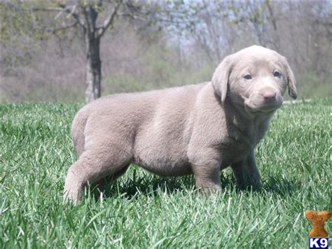 lab puppies for sale in illinois labrador retriever puppies for sale in illinois