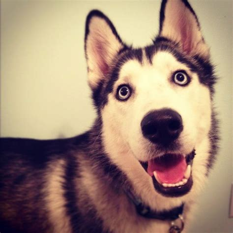 siberian husky puppies for adoption near me 22 best images about siberian husky on husky working dogs and what
