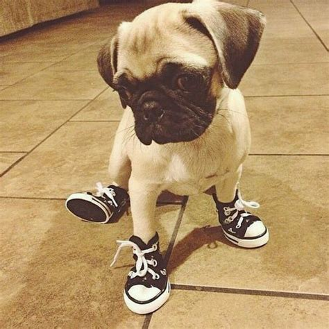 pug in pug slippers quot see my new shoes quot minnetonka moccasins dogs puppies