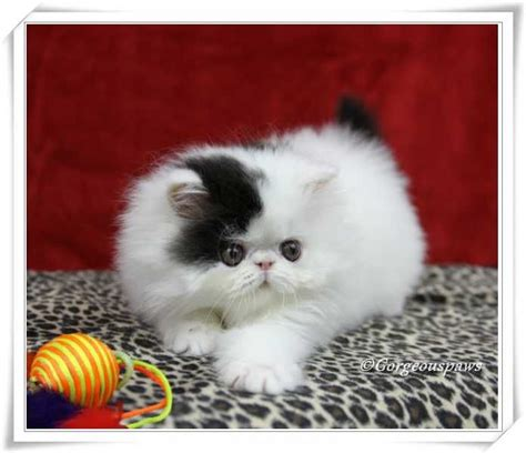 Handuk Baby 70 X 143 485 best shorthair images on shorthair cats and cats