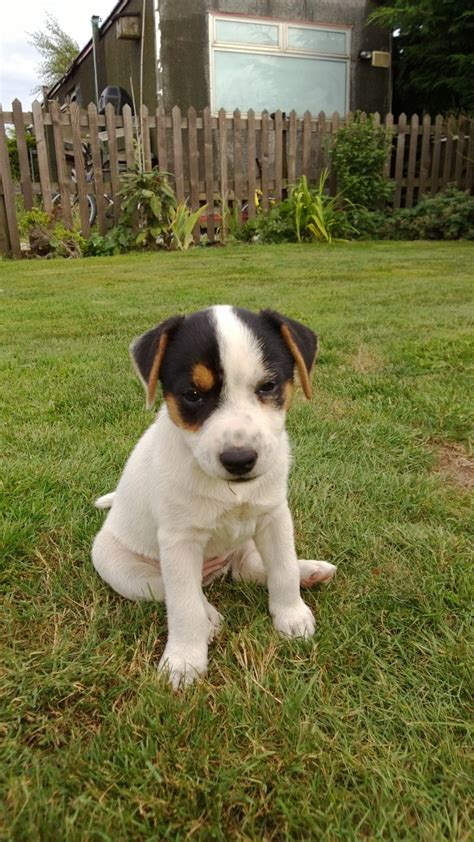 parson terrier puppies for sale terrier puppy for sale breeds picture