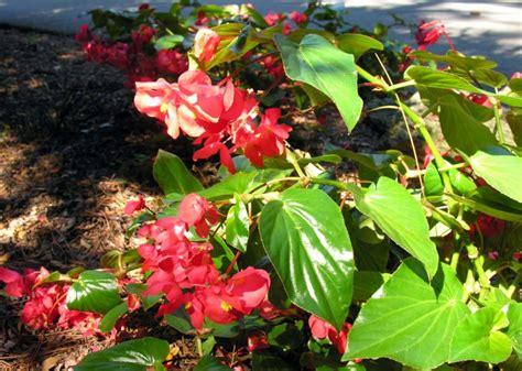 begonia home garden information center