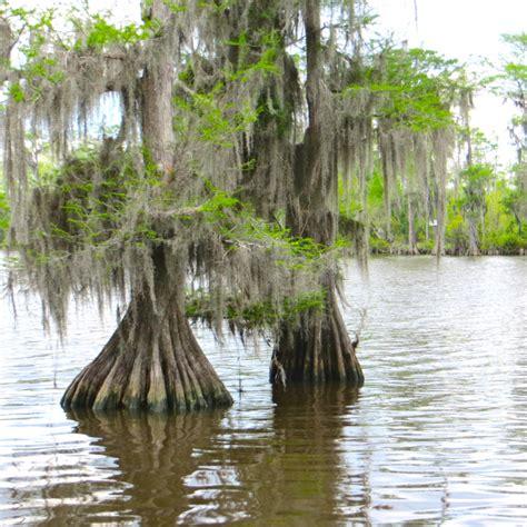 louisiana maple trees louisiana s cypress trees wood eternal gallivance